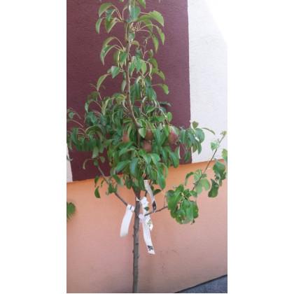Rodinný strom hruška kontajnerovaná 2 odrody podpník dula