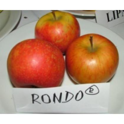 Rondo stĺpová jabloň jesenná kontajner C7,5L/100-150cm