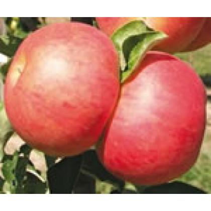 Starcats jabloň stĺpovitá jesenná  červená kontajnerovaná