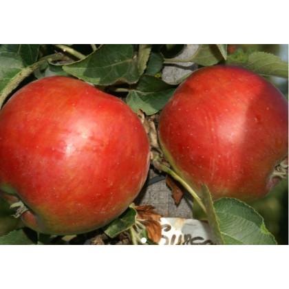 Suncats  jabloň stĺpovitá kontajnerovaná