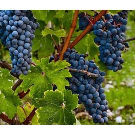 Dornfelder vinič muštový tmavý prostokorenný