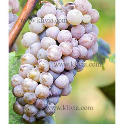 Hibernal vinič muštový rezistentný prostokorenný