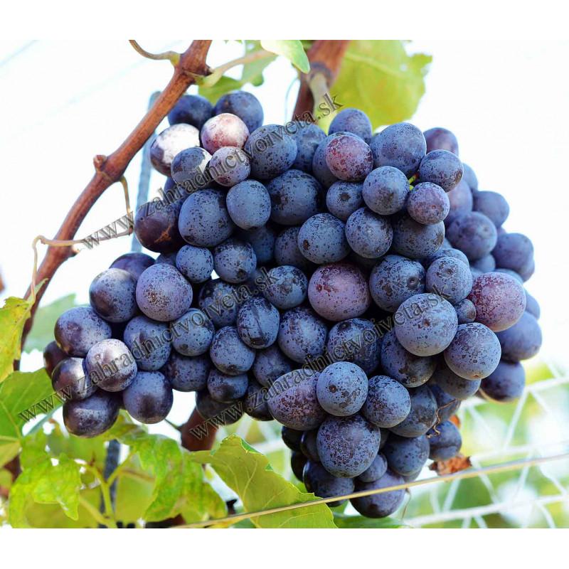 Kišmiš Moldavský vinič stolový bezsemenný prostokorenný