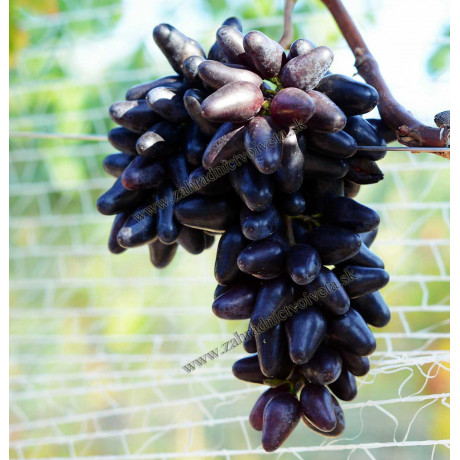 Souvenir vinič stolový rezistentný veľkoplodý prostokorenný