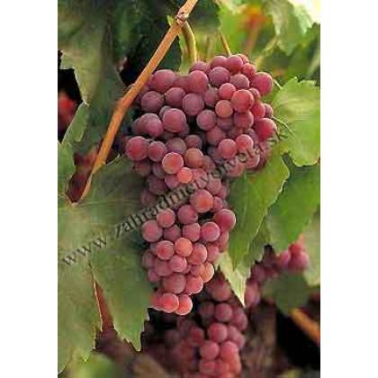 Suffolk Red vinič stolový rezistentný bezsemenný ružový C1,5L/60cm