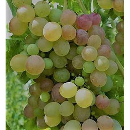 Besy stolový vinič rezistentný bezsemenný prostokorenný