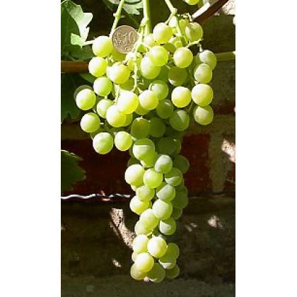 Birstaler Muskat vinič biely stolový rezistentný kontajner P1,5