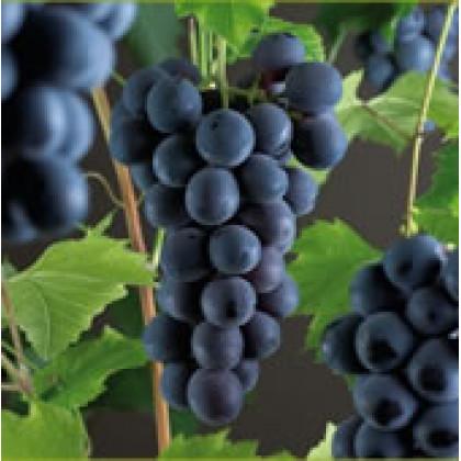 Boskoop Glory vinič stolový rezistentný stredne skorý C1,5L/60cm