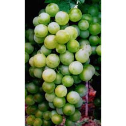 Čabianska perla vinič stolový veľmi skorý