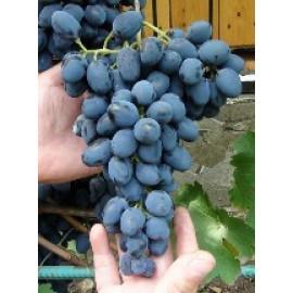 Čarli vinič stolový rezistentný modrý skorý prosto..