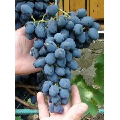 Čarli vinič stolový rezistentný modrý skorý prostokorenný