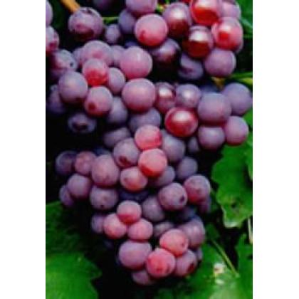 Chrupka červená vinič stolový  do chladnejších oblasti prostokorenný