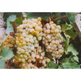 Citronnyj Magarača vinič muštový rezistentný