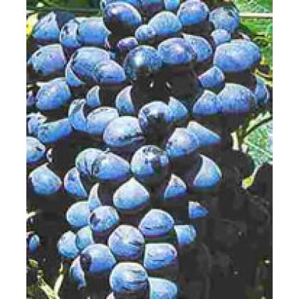 Dačnyj vinič rezistentný stolový prostokorenný