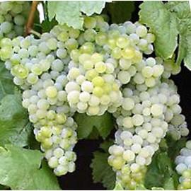 Devín vinič muštový biely prostokorenný