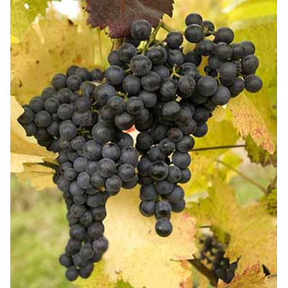 Frankovka modrá vinič muštový prostokorenný