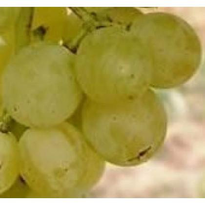 Himrod vinič stolový rezistentný bezsemenný C1,5L/60cm