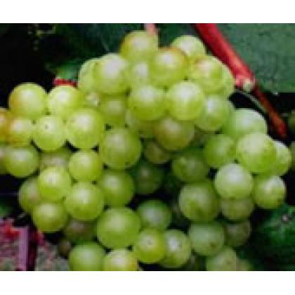 Irsai Olivér vinič stolový skorý aromatický prostokorenný