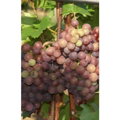 Lidi vinič stolový rezistentný bezsemenný skorý C1,5L/60cm