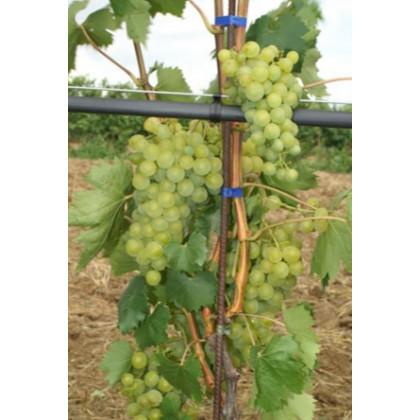 Muller Thurgau vinič muštový prostokorenný