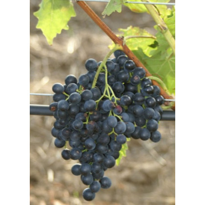 Muscat Blue vinič stolový rezistentný bezsemenný skorý C1,5L/60cm