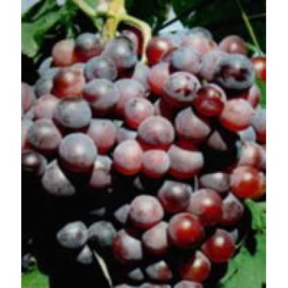 Olšava vinič stolový klasický neskorý prostokorenný