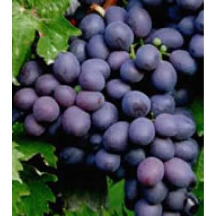 Onyx vinič stolový klasický neskorý prostokorenný