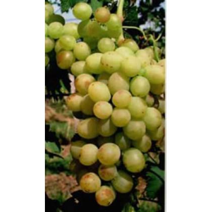 Panónia Kincse vinič stolový strdne neskorý prostokorenný