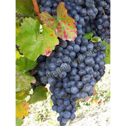 Rosa vinič muštový modrý nový