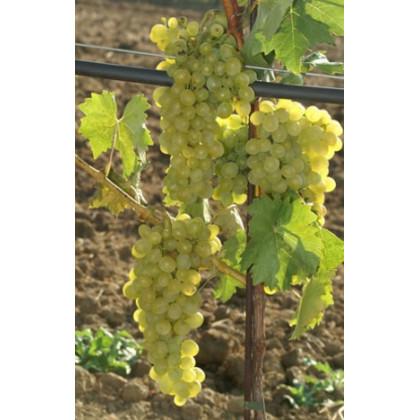 Chardonnay vinič muštový biely prostokorenný