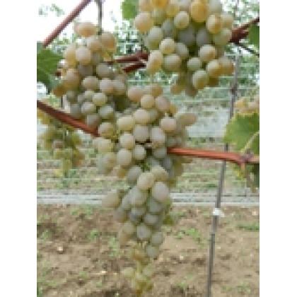 Teréz vinič stolový rezistentný bezsemenný neskorý prostokorenný