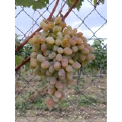 Dokučajevoj Ustojčivij vinič rezistený biely prostokorenný