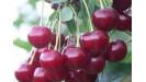 Višne ovocné stromy