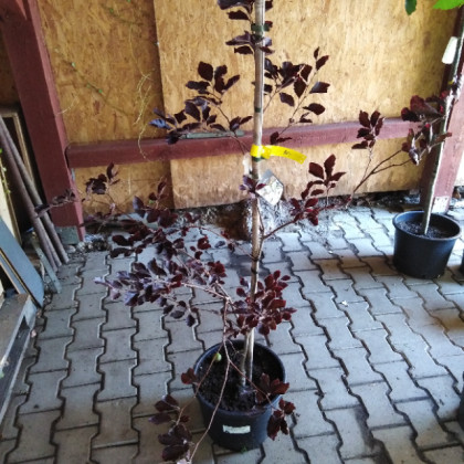 Tricolor Purpurea Fagus sylvatica Buk lesný kontajner / 125-150 cm