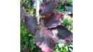Fagus sylvatica Buk lesný