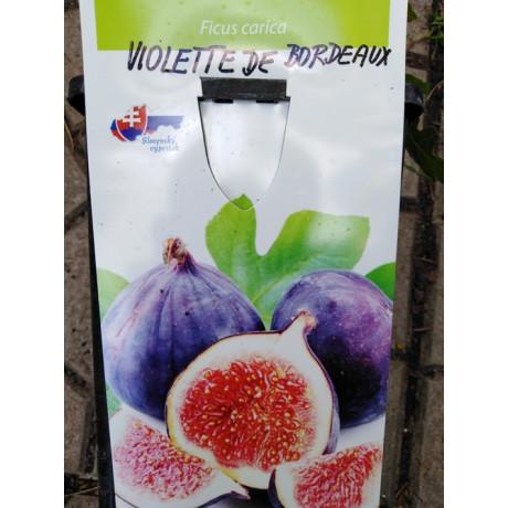Violette de Bordeaux Ficus carica figovník 60-80cm/C2L