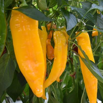 Firtos F1 paprika sladká úzka dlhá 250 semien NOVÉ