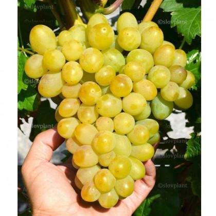 Galachad vinič stolový rezistentný veľmi skorý prostokorenný