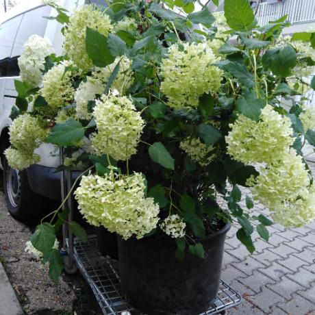 Annabelle hydrangea arborescens hortenzia stromčeková C50L/ 80-100