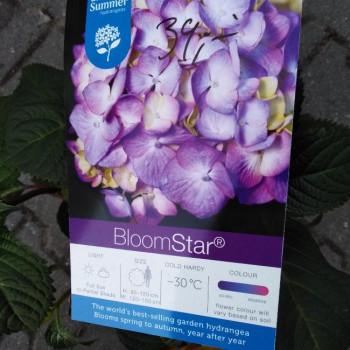 Endless Summer BloomStar Blue hydrangea hortenzia kontajner C5L