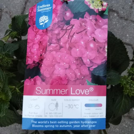 Endless Summer Love Pink hydrangea hortenzia kontajner C5L