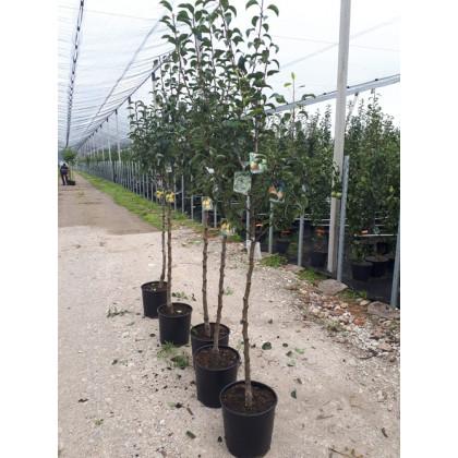 Rodinný strom hruška kontajnerovaná 4-5 odrôd polokmeň