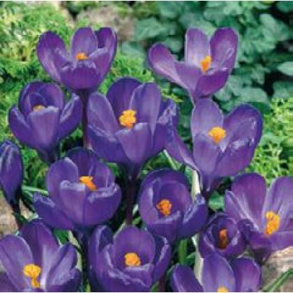 Flower Record Krokus veľkokvetý fialový 12ks