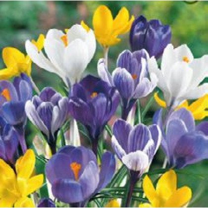 Krokus crocus Zmes farieb botanický 20 ks