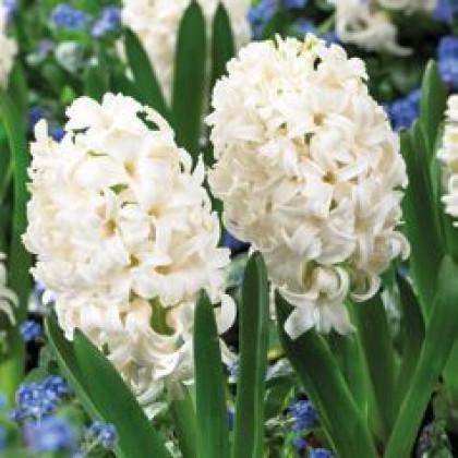 Carnegie Hyacint biely cibule 3ks