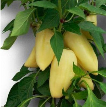 Antal semená Paprika sladká 250s