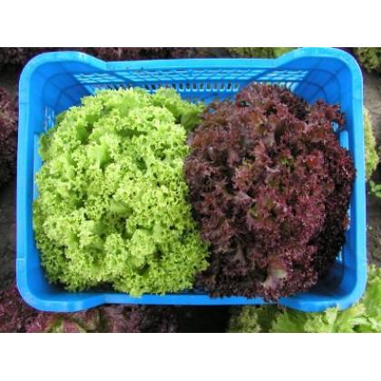 Karminova bio semená šalát listový 0,60g