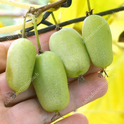 Jumbo actinidia arguta kiwi drobnoplodé kontajner