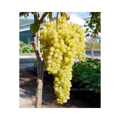 Kišmiš Citronnyj stolový vinič bezsemenný kontajner C1,5L/60-80cm