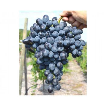 Kišmiš Rebekka stolový vinič rezistentný bezsemenný prostokorenný